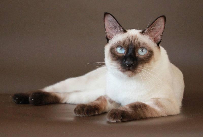 Тайская порода котов: описание вида, характера, уход и фото