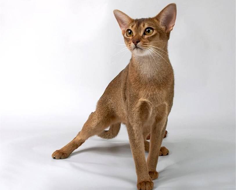 Абиссинская кошка: описание породы, характер и поведение