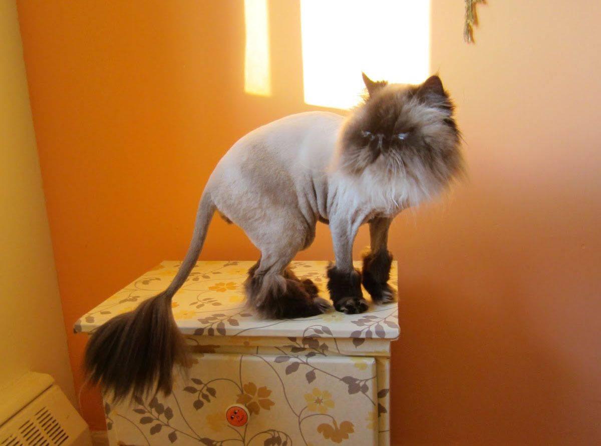 Как и с помощью чего подстричь кошку в домашних условиях, фото