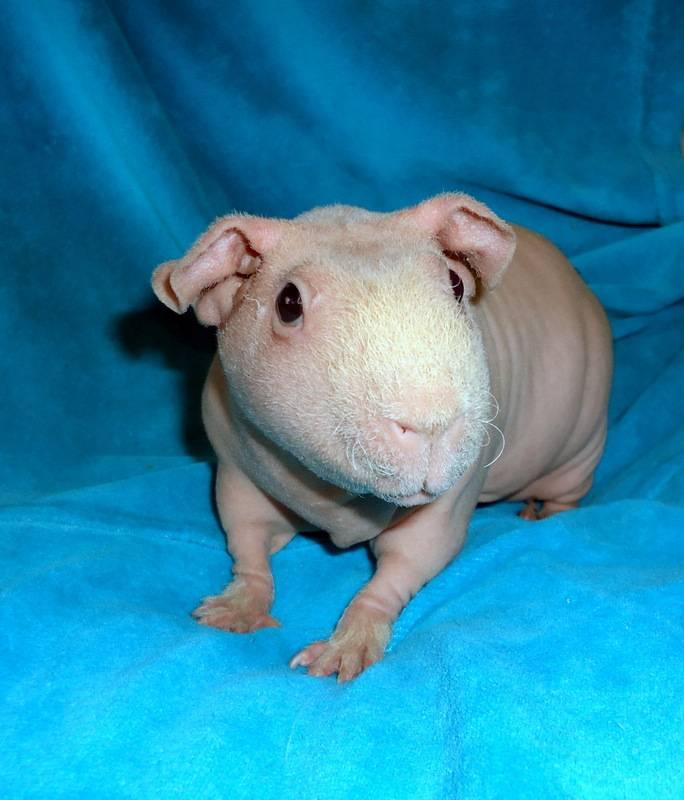 Породы морских свинок (31 фото): как называется самая большая свинка? длинношерстные виды с названиями