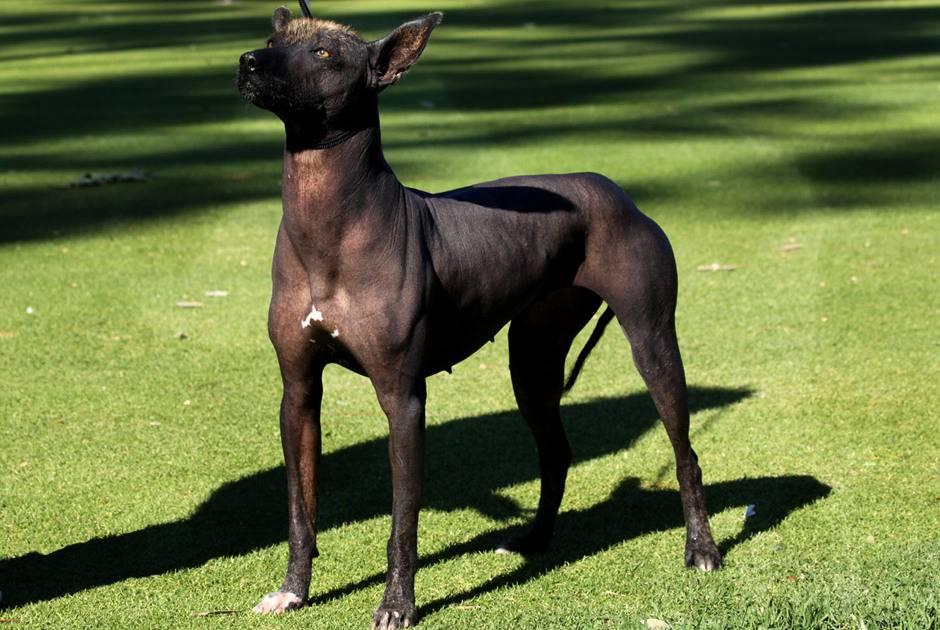 Самые редкие и необычные породы собак, их отличительные черты и особенности поведения