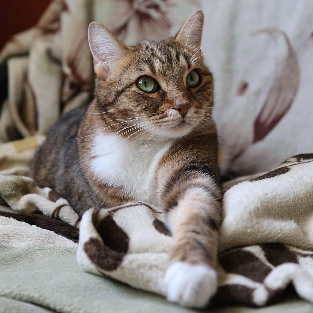 Европейская короткошерстная кошка - фото и описание породы