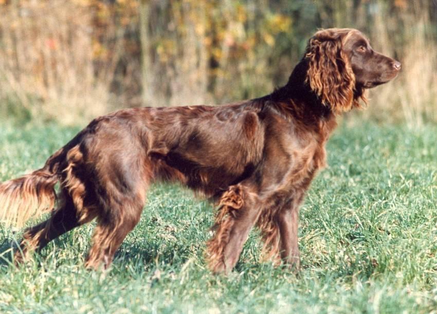 Длинношерстная немецкая овчарка — фото, описание и характеристика породы, особенности содержания
