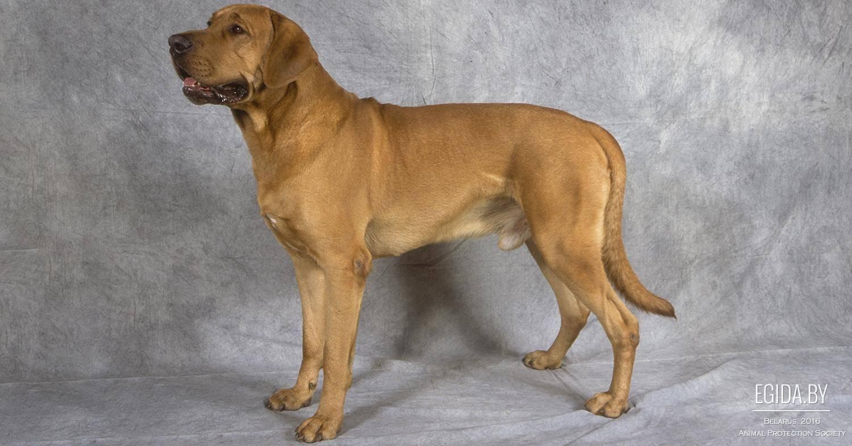 Дратхаар: все о собаке, фото, описание породы, характер, цена