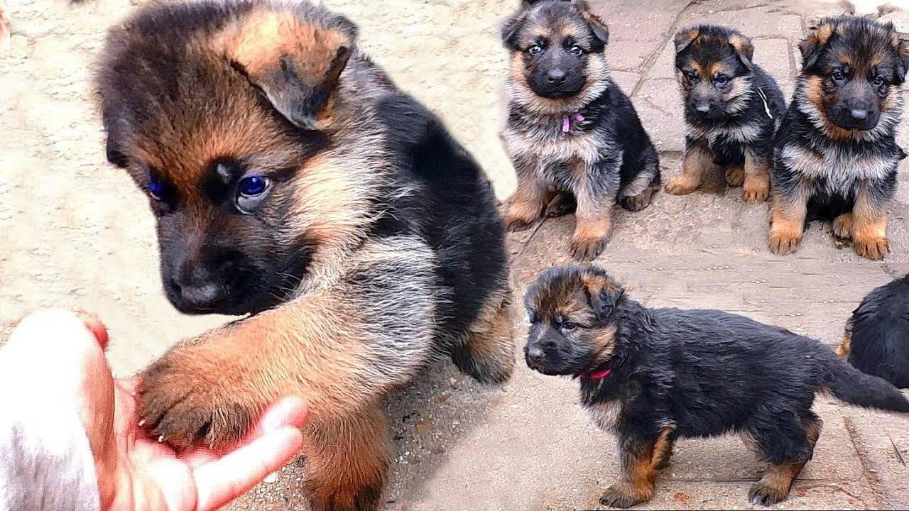 Особенности щенков немецкой овчарки: фото, рост по месяцам, прививки, содержание и кормление + примерная стоимость