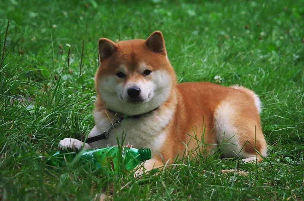 Сиба-ину: улыбающаяся собака с сердцем самурая