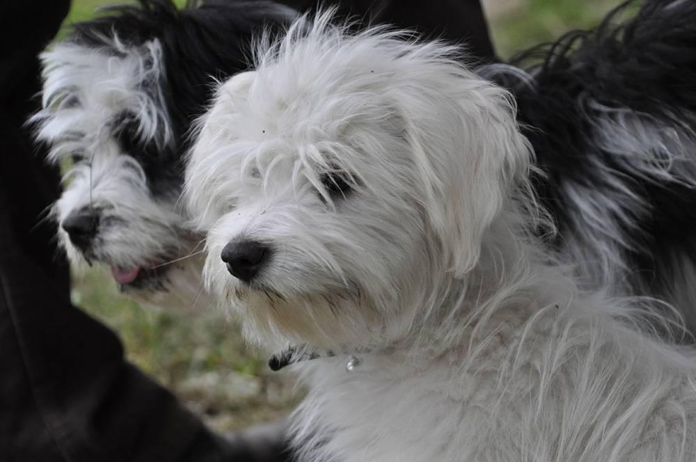 Одис. история, характер, внешность, уход за породой собак