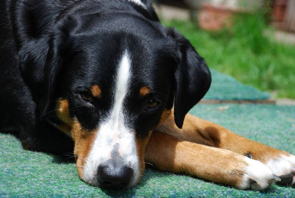 Энтлебухер зенненхунд: фото и описание породы собак энтлебухер зенненхунд: фото и описание породы собак