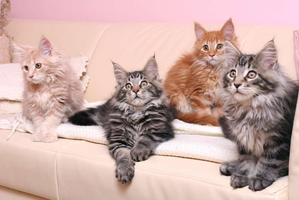 Мейн-кун: порода кошек, описание, особенности характера, размеры, чем кормить, как ухаживать, цена котят впитомнике, фото иотзывы