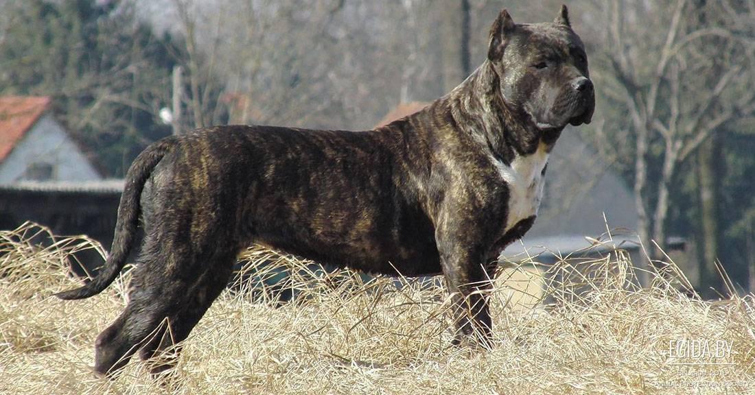 Мощная, сильная собака из испании – канарский дог