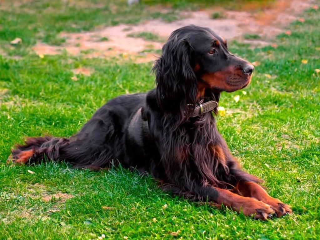 Собака шотландский сеттер гордон характеристика породы и описание