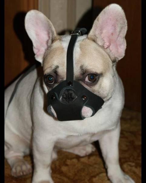 Как правильно выбрать шлейку и намордник для выгула французского бульдога и как приучить собаку к этим аксессуарам
