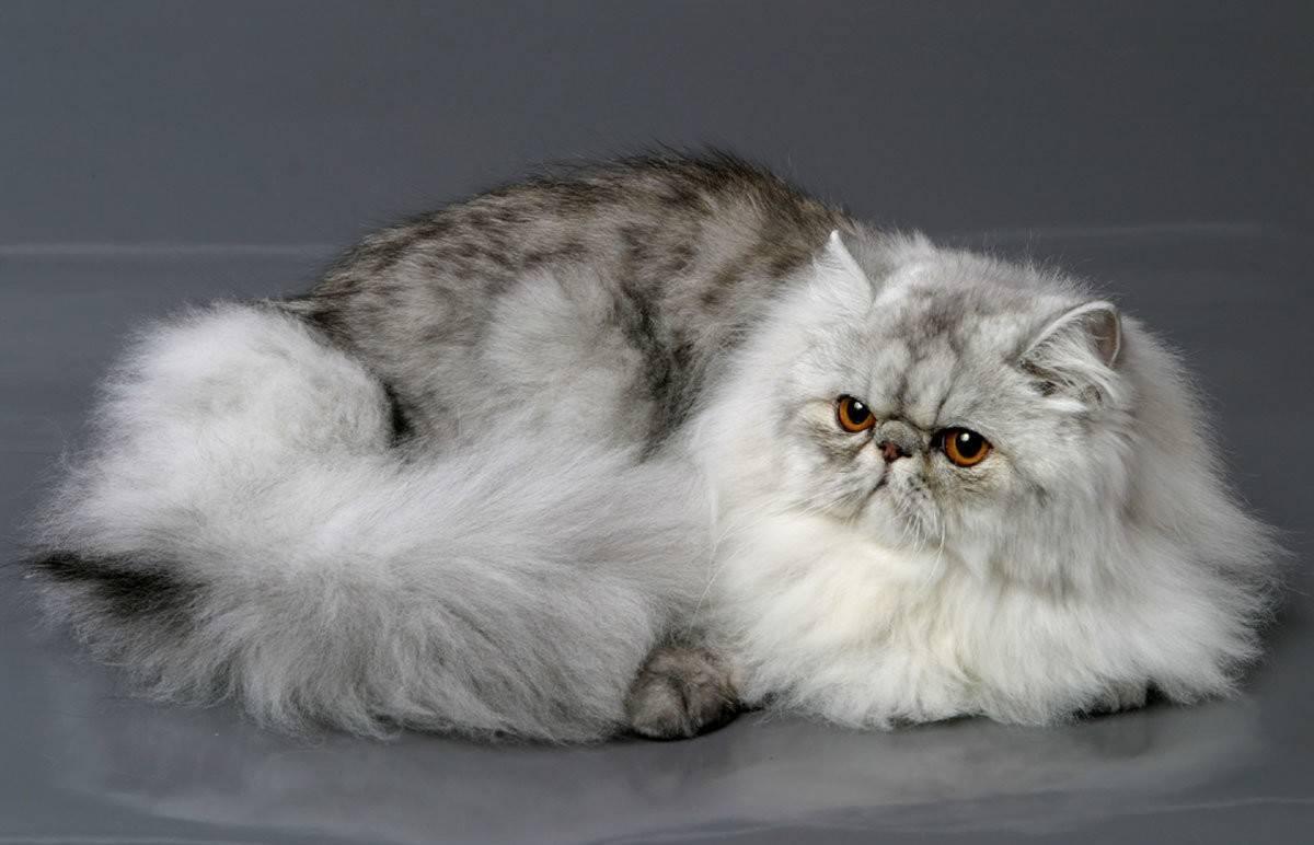 Персидская кошка - характер и уход за персидскими кошками (100 фото и видео)