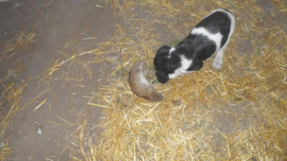 Собаки-крысоловы — породы псов для охоты на грызунов с фото и описанием