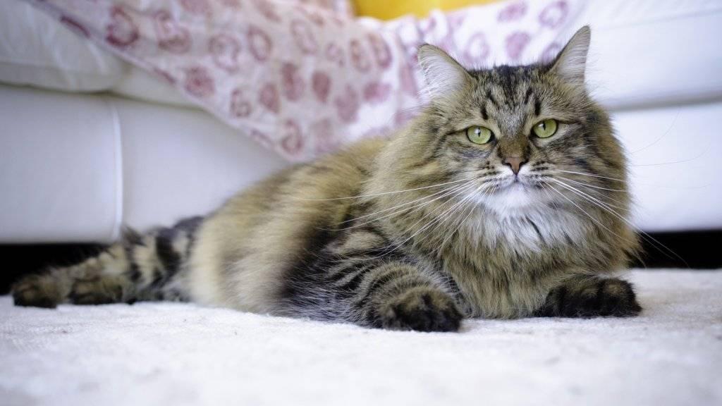 Сибирская кошка: визитная карточка россии