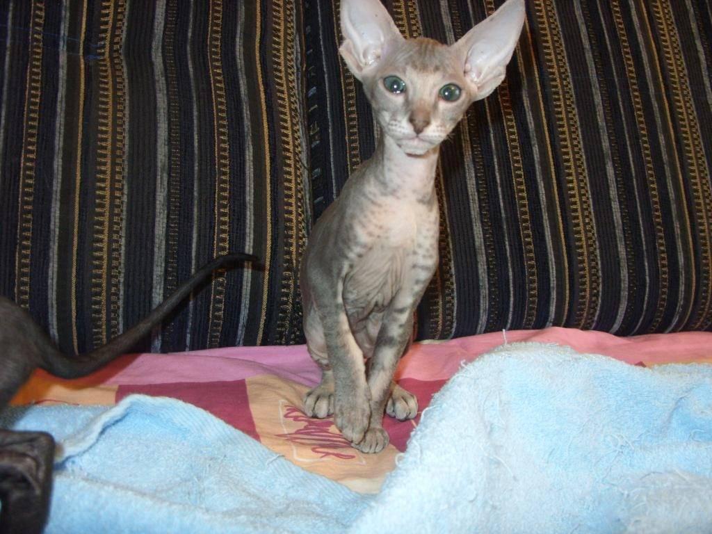 Петерболд: фото кошки, цена, описание породы, характер, видео, питомники