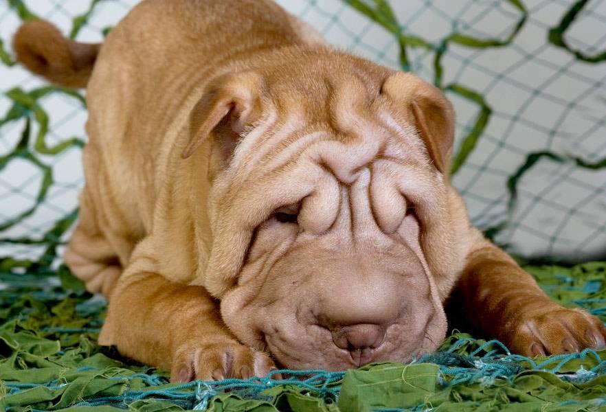 Шарпей собака. описание, особенности, уход и цена шарпея | sobakagav.ru