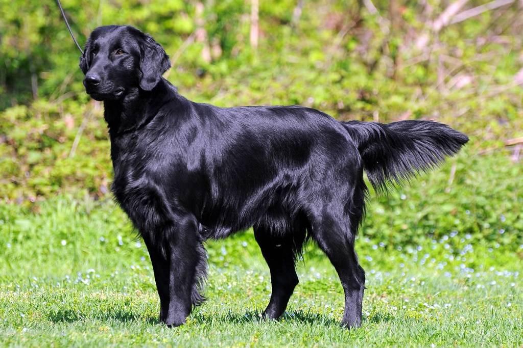 Новошотландский ретривер собака. описание, особенности, виды и цена породы | живность.ру