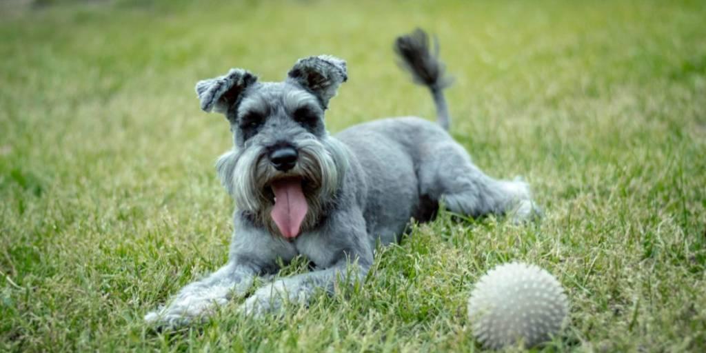 Миттельшнауцер: плюсы и минусы породы. оссобенности содержания и уходаза собакой