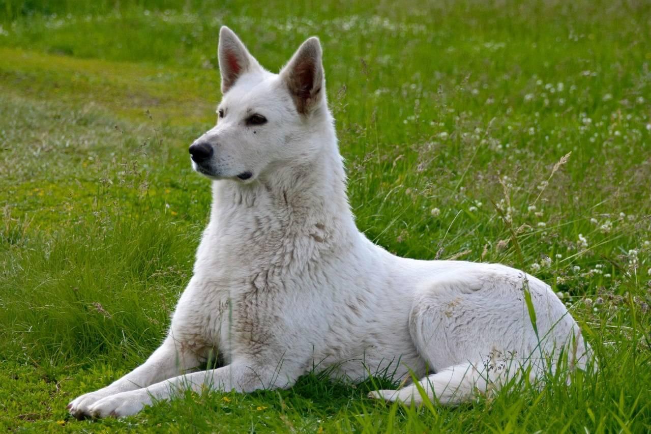 Подробное описание и характеристика породы белая швейцарская овчарка
