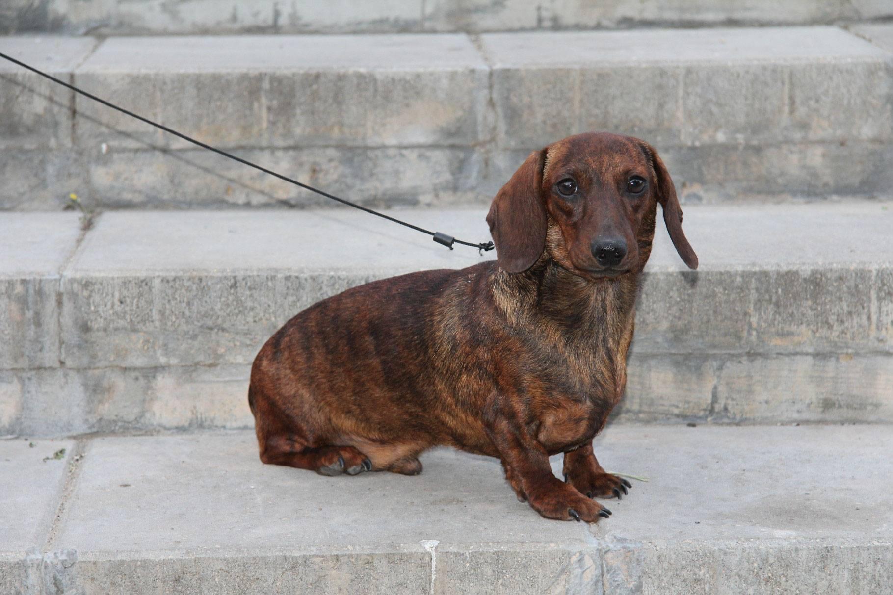 Такса - 90 фото одной из наиболее древних пород норных собак