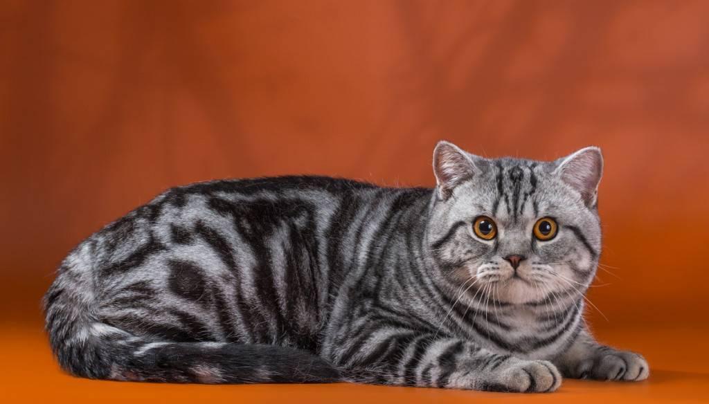 Окрасы табби (тэбби) британских кошек