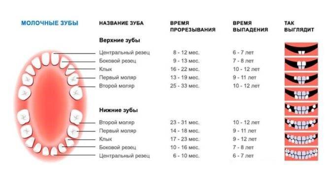Смена зубов у котят: когда меняются молочные зубы, что делать владельцу