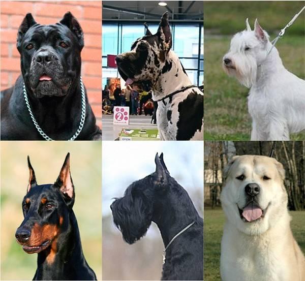 Купирование ушей у собак: особенности процедуры, операция и уход