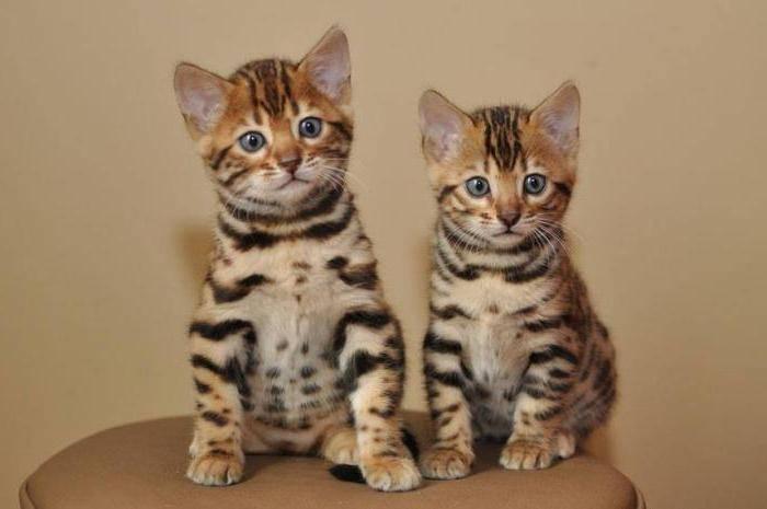 Кот или кошка — кого выбрать?