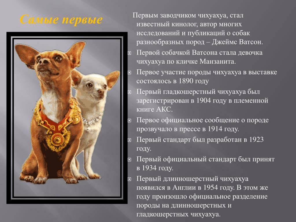 Уход и содержание чихуахуа: основные правила и как подготовиться к появлению щенка в доме