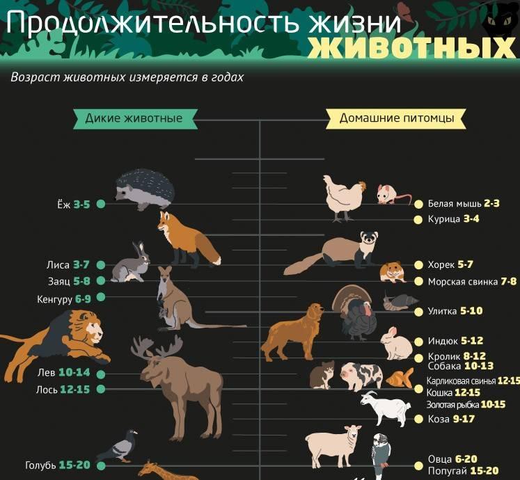 Сколько живут мопсы и как за ними ухаживать?