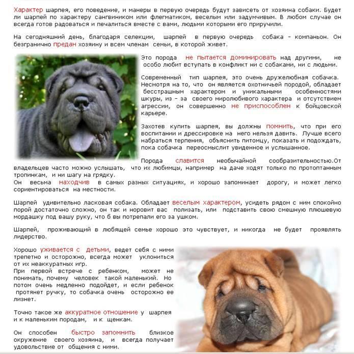 Порода собак шарпей: описание породы, характеристика, уход, чем кормить, щенки, стандарты