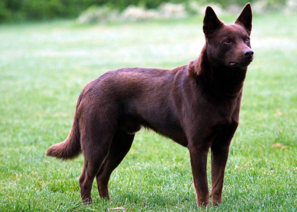 Порода собак австралийская келпи - описание, характер, характеристика, фото австралийской овчарки и видео, цена