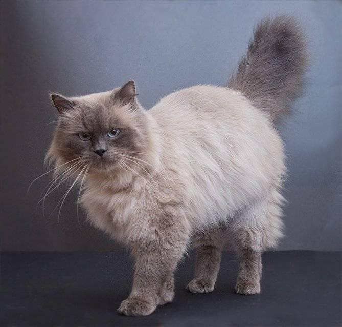 Британские котята: воспитание, содержание, питание, вязка