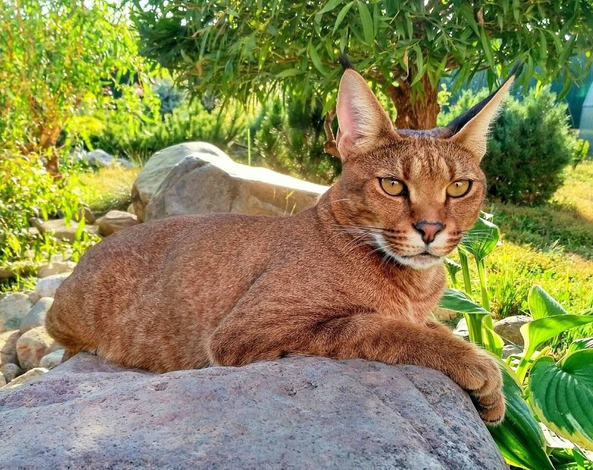 Каракет (36 фото): особенности породы, описание внешнего вида кошек и котов. содержание котенка в домашних условиях