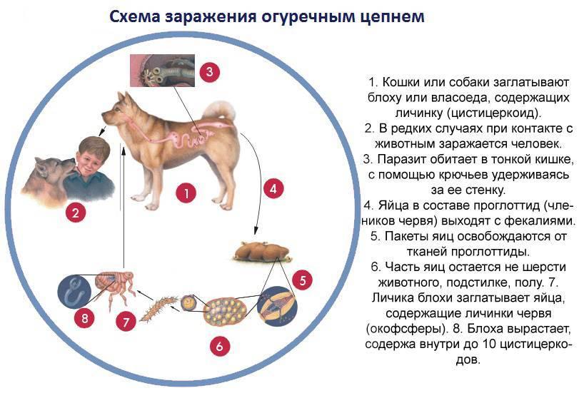Лептоспироз животных