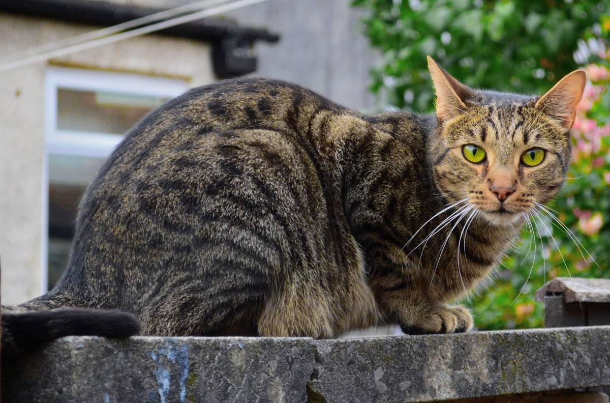 Европейская короткошерстная (кельтская) кошка: 41 фото, описание, стандарт породы