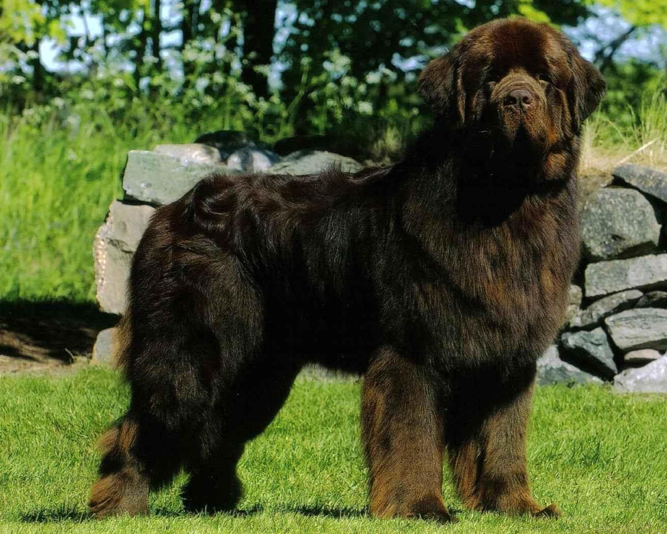 Большие пушистые собаки: характеристика, разновидности, выбор и уход