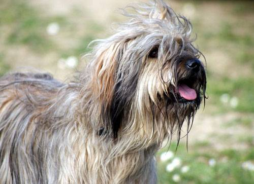 Пиренейская горная собака (большая пиренейская собака)