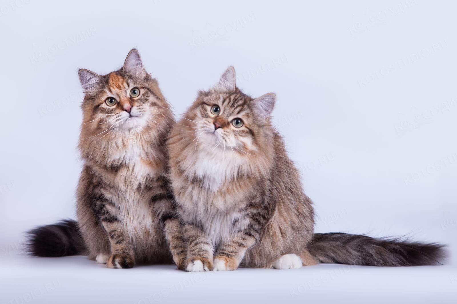 Сибирская порода кошек - особенности содержания и ухода