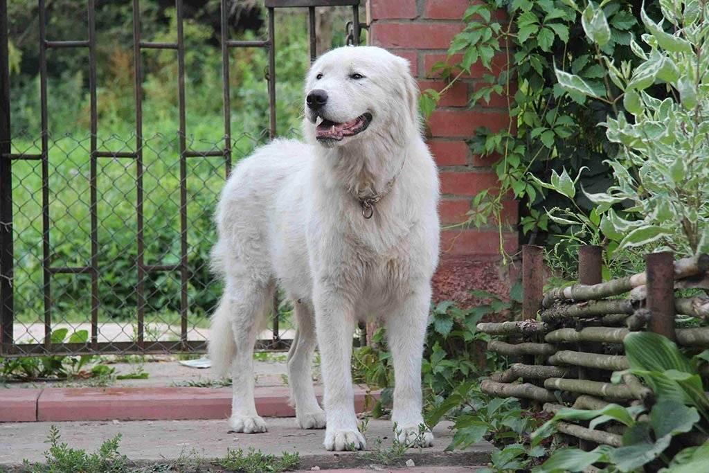 Все об итальянской овчарке маремма-абруццкой: происхождение, уход за собакой