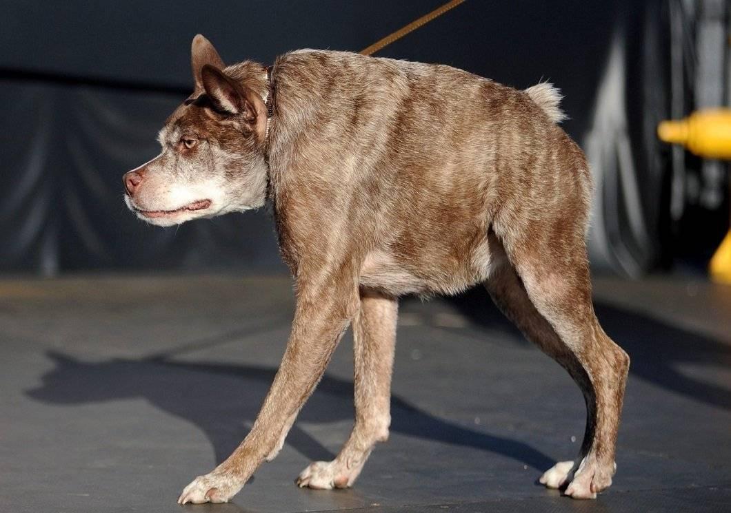 Самая уродливая собака в мире: победители конкурса