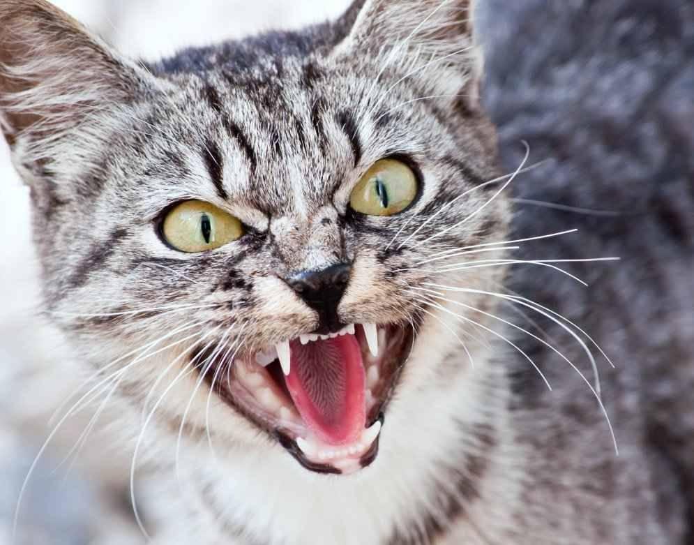 Кошка стала проявлять агрессию. что делать? - страна мам