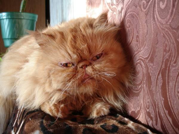 Содержание персидской кошки (фото), особенности содержания персидских кошек персов? что купить для содержания персидской кошки? какой лоток туалет игрушки приобрести для перса?