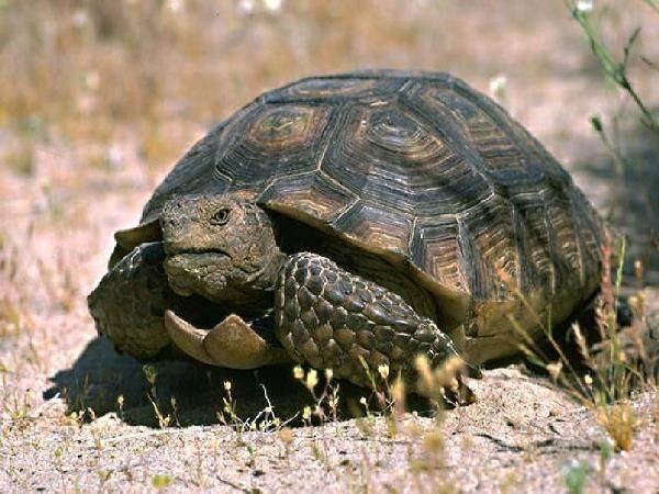 Сколько лет живут черепахи в домашних условиях и в дикой природе