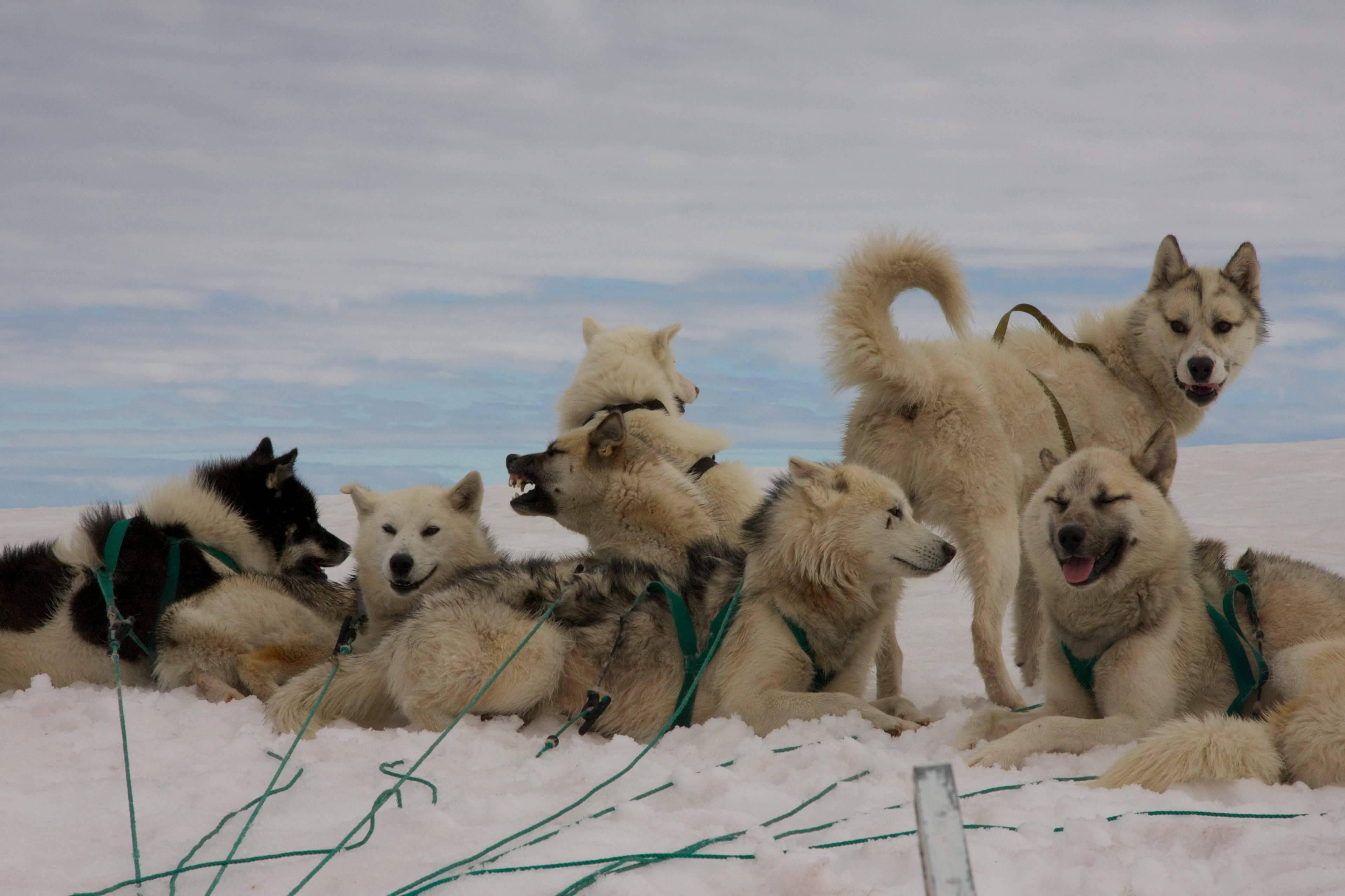 Гренландские собаки: характеристики породы и содержание