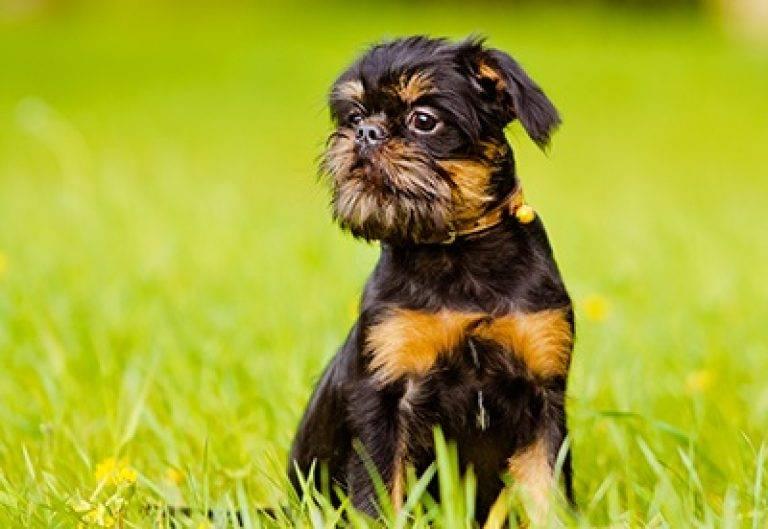 Собака гриффон (99 фото): описание пород. как выглядят щенки мини-собак? сколько живут карликовые и другие гриффоны?