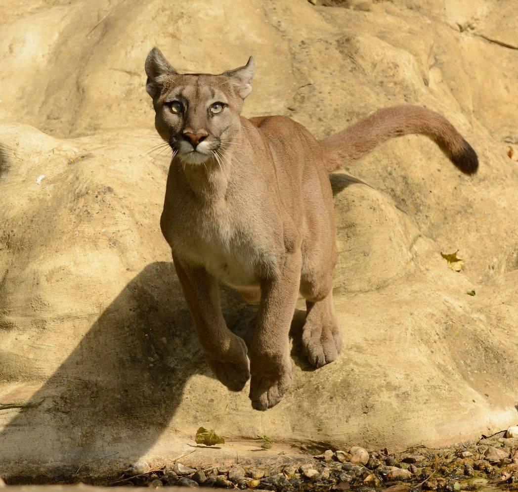 Пума – животное-хищник. описание и фото пумы