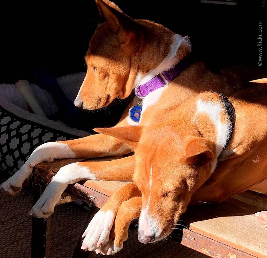 10 пород собак которые не лают