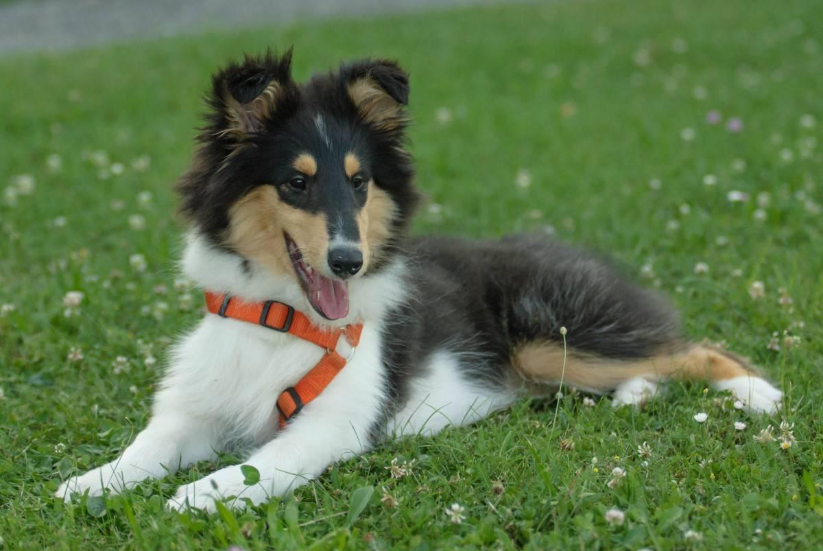 Английская овчарка собака. описание, особенности, виды, характер, уход и цена породы
